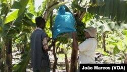 Produção de banana, Benguela