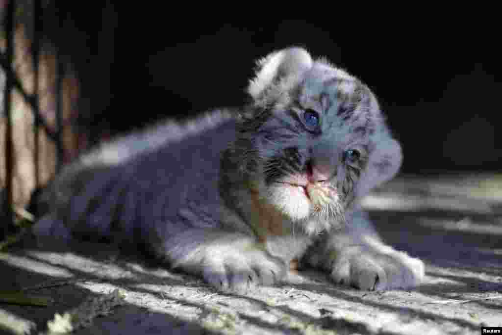 A newborn white Siberian tiger cub is pictured in its enclosure at San Jorge zoo in Ciudad Juarez, Mexico, May 15, 2017.