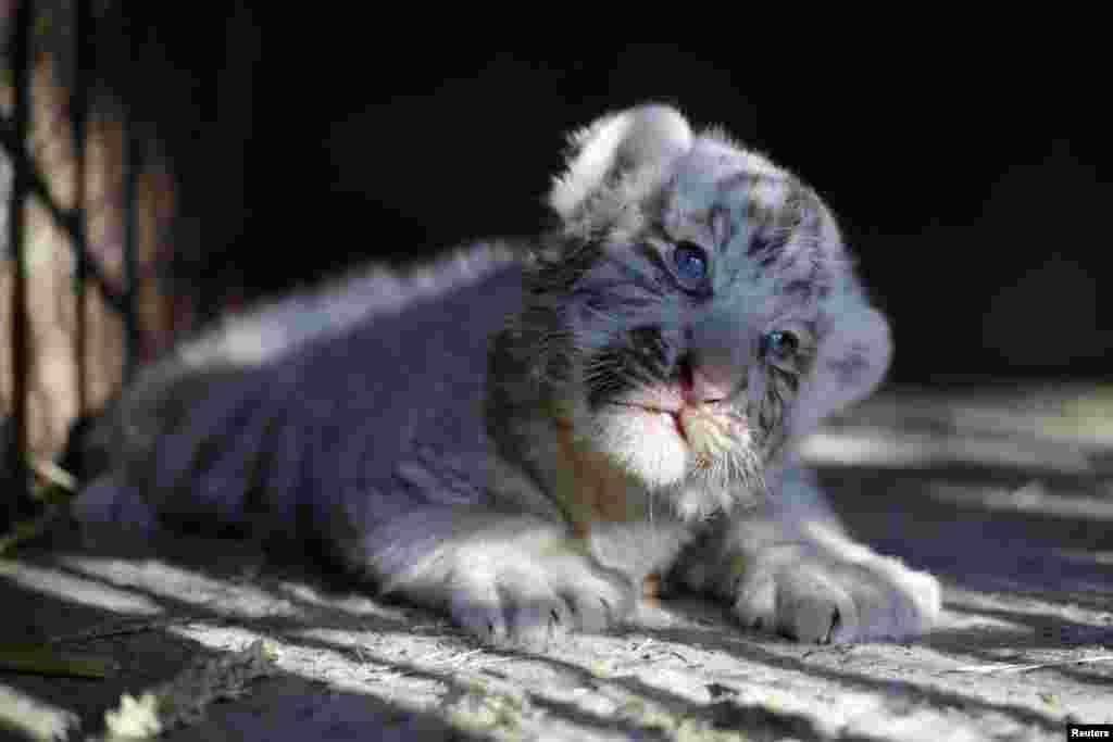 Seekor bayi harimau Siberia putih yang baru lahir di kandangnya di kebun binatang Ciudad Juarez, Meksiko.