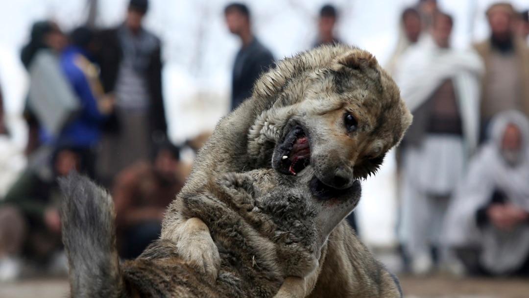 Polisi Brazil Gerebek Jaringan Adu Anjing Yang Mengerikan Di Sao Paulo