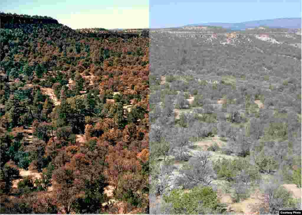 Proyeksi kerusakan hutan di barat daya Amerika, yang diperkirakan lebih sering karena pemanasan global. (Craig D.Allen/USGS)