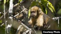 Monyet capuchin berdada kuning di Brazil merupakan primata yang langka keberadaannya. (Foto: Luciano Candisani)