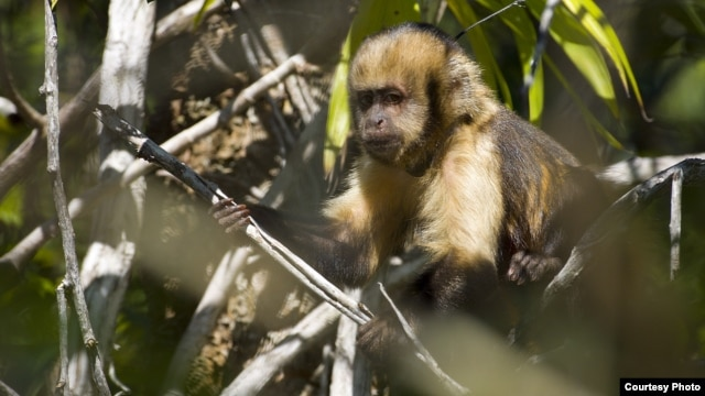 A yellow-breasted capuchin monkey at Una Biological Reserve in Bahia, Brazil, is a critically-endangered primate targeted by hunters for bush meat. (Photo / Luciano Candisani)