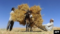 FILE - Afghan farmers load a donkey as they harvest wheat on the outskirts of Herat on June 23, 2014.