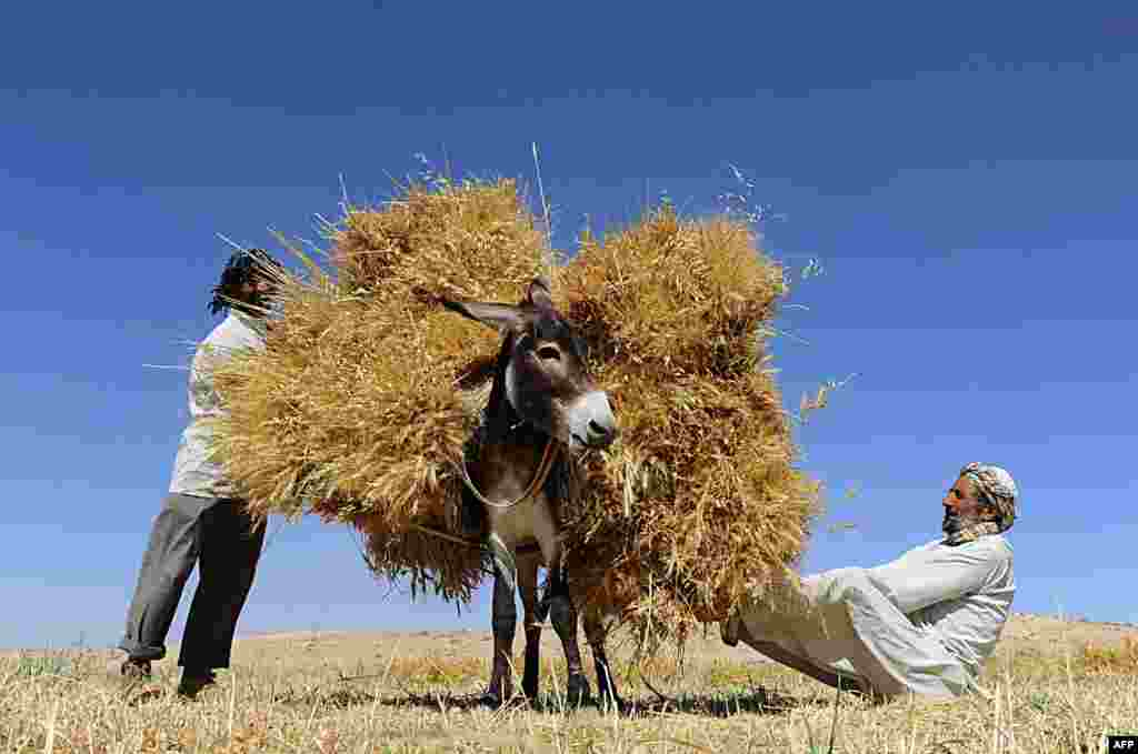 Afghan farmers load a donkey as they harvest wheat on the outskirts of Herat.