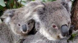 Maggie si koala betina memanjat pohon di Taronga Zoo di Sydney, Australia, Kamis, 1 September 2011. (Foto: AP/Rob Griffith)