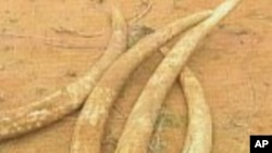African Elephant Tusks
