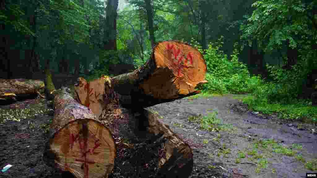 قطع درختان جنگل گلستان - عکس: لاله خواجویی