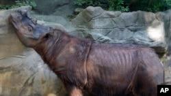 Harapan, badak Sumatera jantan di kebun binatang Cincinnati. (Foto: dok. AP Photo/Al Behrman)