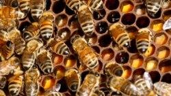 대기오염, 꿀벌 폐사에도 영향