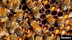 Lebah-lebah di sarang mereka di atap restoran Tour d'Argent yang menghadap Sungai Seine di Paris. (Foto: Dok)