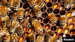 꿀벌 전염병 확산, 식량 안보 우려