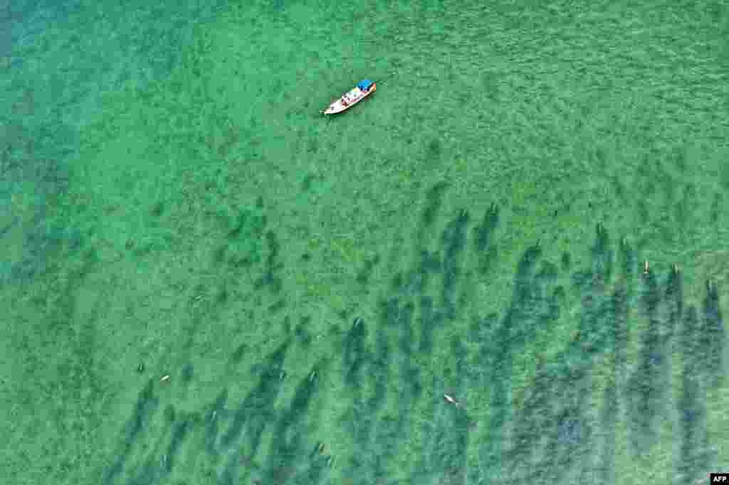 This aerial view handout from Thailand's National Marine Park Operation Center in Trang province, southern Thailand, shows dugongs swimming in Joohoy cape at Libong island in Trang.