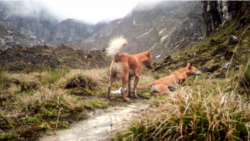 Quiz - Ancient New Guinea 'Singing Dog' Rediscovered after 50 Years