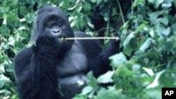 Un gorille des montagnes dans la forêt congolaise, en 1997.