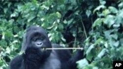 Un gorille des montagnes dans la forêt au Congo, Octobre 1997.