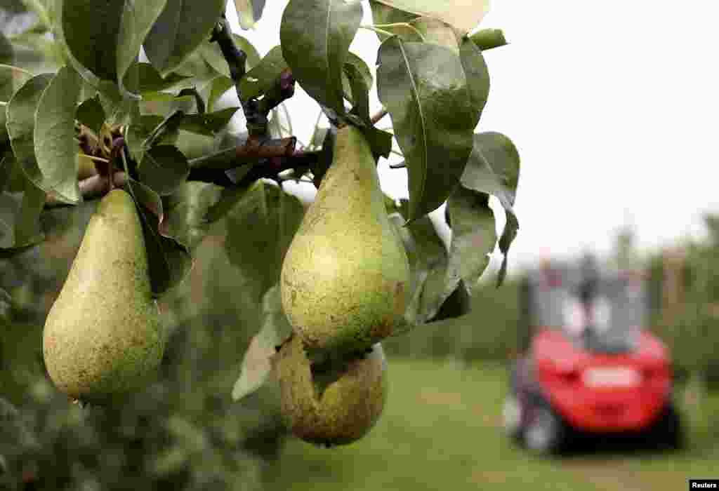 A tree laden with pears is seen during a harvest in an orchard in Hannut, near Liege, Belgium. EU fruit and vegetable growers will get financial aid of up to 125 million euros ($167 million) to help them cope with Russia's ban on most Western food imports, which has created a glut of produce in peak harvest time.