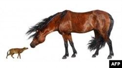 55 milyon yıl önce yaşadığı sanılan küçük at (Sifrhippus sandae ) çağdaş atla