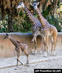 A baby female Masai giraffe with her parents at the Los Angeles Zoo Tuesday, Nov. 22, 2016. (AP Photo/Nick Ut)