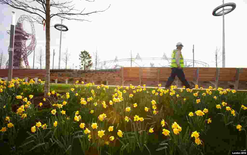 Golden daffodils put spring in step for Olympic Park as parklands are preened and pruned in time for GamesSpring has sprung in the London 2012 Olympic Park as gardens of golden daffodils have flowered to mark the official start to the season today.