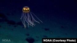 Гідромедуза Crossota, експедиція до Маріанської западини, 2016 Національна океанічна та атмосферна адміністрація США (NOAA Office of Ocean Exploration and Research)