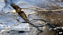 FILE - A bald eagle flies over the Des Moines River near Pella, Iowa., Jan 11, 2009. Greg Sheehan, head of the U.S. Fish and Wildlife Service, is stepping down after a 14-month tenure in which he proposed broad changes to rules governing protections for thousands of plant and animal species.