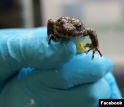 Katak kaki kuning Sierra Nevada (yellow-legged frog). (Facebook/OakZoo)