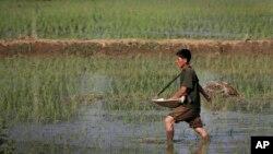 북한 평양 인근 들판에서 농부가 모내기를 하고 있다. (자료사진)