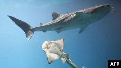 Шарм-эль-Шейх: в атаках повинны две акулы