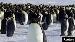 FILE - Emperor penguins are seen in Dumont d'Urville, Antarctica, April 10, 2012.