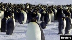 FILE - Emperor penguins are seen in Dumont d'Urville, Antarctica, April 10, 2012.