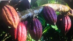 São Tomé e Príncipe: Pequenos agricultores de cacau forçados a deitar fora a sua produção