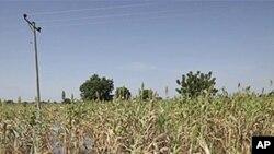 นักวิจัยสหรัฐฯ และอังกฤษพบกลไกในเซลพืชที่ควบคุมโปรตีนเพื่อต้านทานภาวะน้ำท่วม