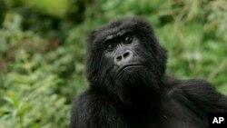 На фото: горила в Руанді