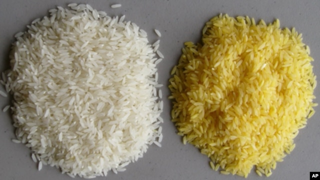 The vitamin A precursor beta carotene gives Golden Rice its color.