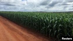 美國貿易代表辦公室農業談判代表稱美國農民沒有動搖。(資料圖片)