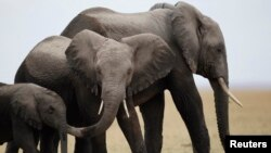 Poachers often kill elephants for their ivory.