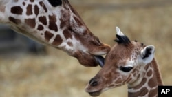 FILE - A two-day-old female reticulated giraffe, also known as the Somali giraffe, is licked by her mother Malindi in the indoor enclosure at the Zoo in Duisburg, Germany, Feb. 13, 2015.