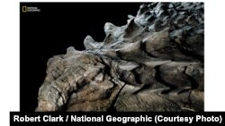 "About 110 million years ago, this plant-eating armored nodosaur walked the land. Now it is a ""one-in-a-billion"" best preserved dinosaurs. (Photo courtesy Robert Clark / National Geographic)"