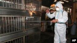 29일 타이완 타이페이 근교의 양계장에서 소독약을 뿌리는 직원.