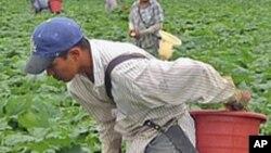 미국의 농장에서 호박을 따는 외국 노동자들