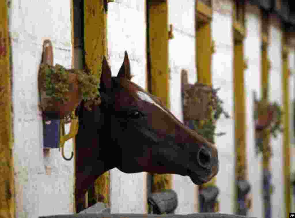 A racehorse looks out of its stable after competing in a race on one of the biggest days in the Kenyan horseracing calendar, in Nairobi January 22, 2012. REUTERS/Goran Tomasevic (KENYA - Tags: SOCIETY ANIMALS TPX IMAGES OF THE DAY)