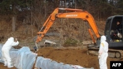 Công nhân Nam Triều Tiên chôn xác một con bò bị nhiễm bệnh lở mồm long móng theo lệnh của giới hữu trách