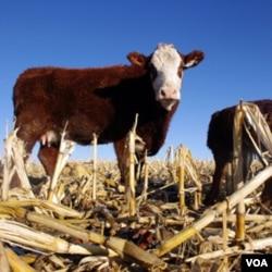 Sebuah peternakan sapi dekat Jerome, negara bagian Idaho, AS.