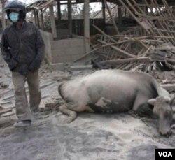 Pemerintah akan memberikan ganti rugi yang wajar atas kehilangan binatang ternak milik warga yang mengungsi.