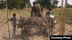 African farmers harvesting crops.