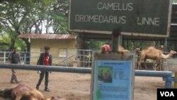 Satu ekor unta ditemukan mati tercabik akibat diterkam Singa Afrika yang lepas Selasa siang (31/1).