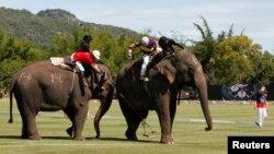 코끼리 폴로대회 태국서 인기