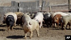 FILE - Pigs roam in a feedlot on a farm in Clear Lake, Iowa. China has increased import duties up to 25 percent on a list of U.S. goods, including pork.
