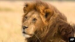 Singa Afrika, salah satu hewan yang diperkirakan akan dimasukkan dalam daftar satwa yang terancam punah oleh Badan Perlindungan Ikan dan Satwa Liar AS, Senin (21/12).